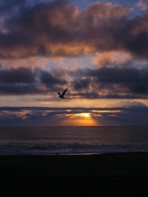 Seagull flying past a sunrise in Ocean City, MD