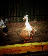 My favorite duck at the pint near my apartments, Moe :)